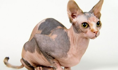 gato sphinxdecomascotas-422-cuidados-consejos-gato-esfinge-xl-668x400x80xX