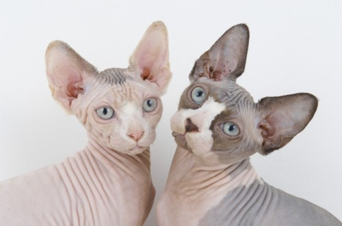 BREEDERS CELEBRATE AS SPHYNX CATS ARE GIVEN RECOGNITION