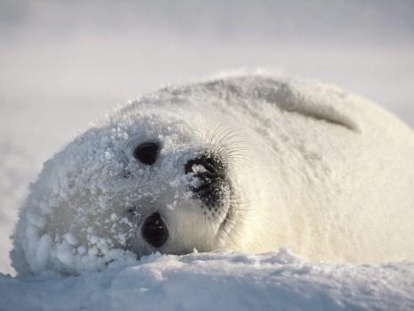 foca-artica - copia