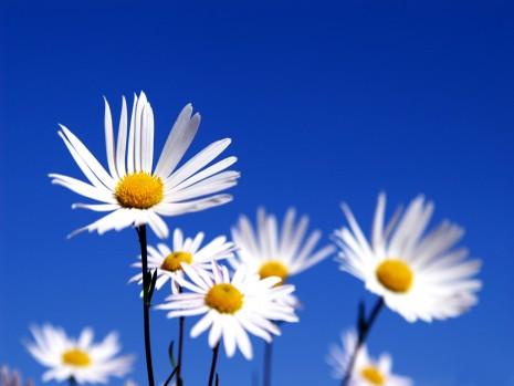 Flores_Blancas