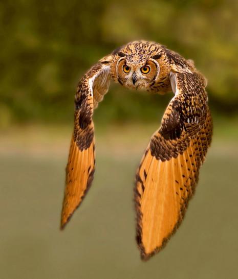 avesbuho-en-pleno-vuelo-owl-aves