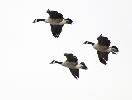 avesgeese-258748_960_720