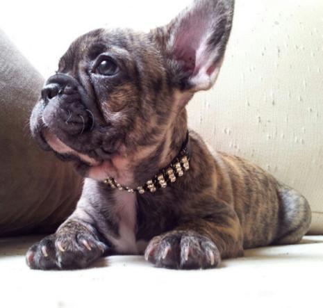 53 memes de animales graciosos para descargar gratis en el - Bulldog frances gratis madrid ...