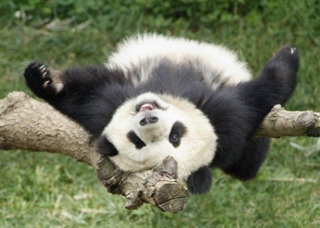 panda-03