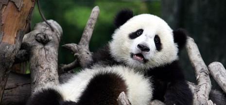panda--647x300