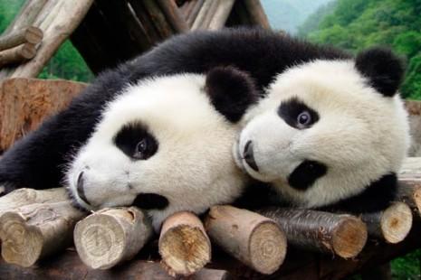 panda1952194