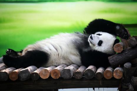 panda2-a