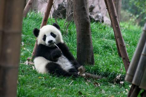 pandaChina-Chengdu-Centro-Osos-Panda-Cria