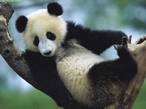 pandaOso