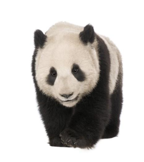 pandaTH 93216573  Oso Panda 18 meses