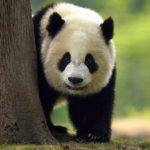 + 50 imágenes para WhatsApp de dulces osos panda muy tiernos