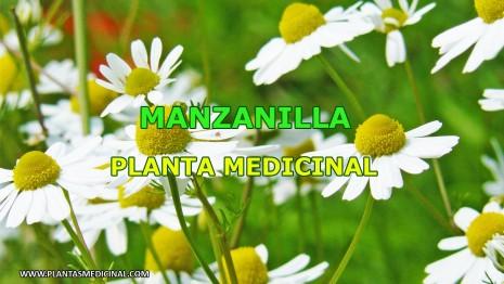Plantas arom ticas y medicinales que pod s cultivar en tu for Manzanilla planta medicinal para que sirve