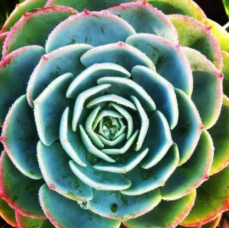 Rosa de Albatros- planta suculenta10606145_581907041919025_3887121648461681106_n