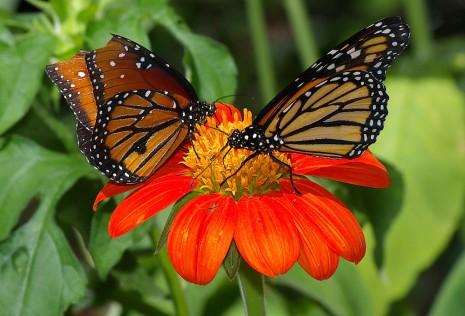 mariposas1024px-Butterflies_UFmuseum