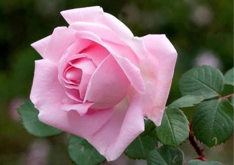 rosa rosa10632688_581908385252224_1417694068217973376_n