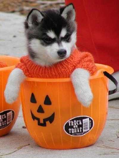 halgatoanimales-graciosos-imagenes-images-pic-pics-husky-halloween