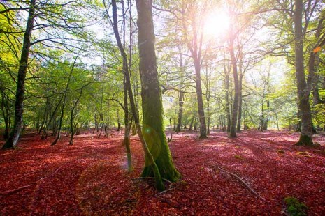 selva_de_irati_fall_beech_jungle_in_navarra_pyrenees_spain_autumn_680
