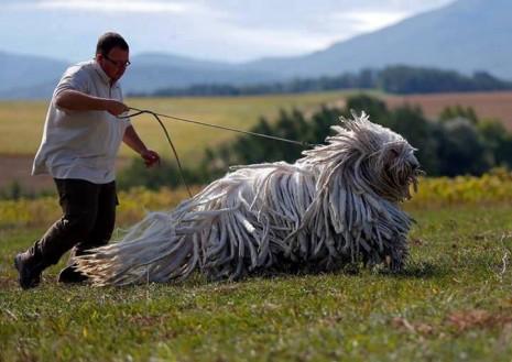 perroskomondor-razas-de-perros-grandes