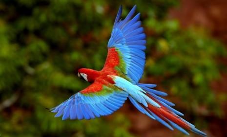 avesGuacamayo-volando