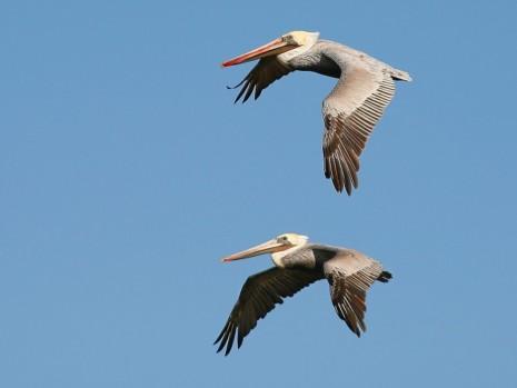 avesbeautiful-two-big-birds-flying-in-sky-wallpaper-55735