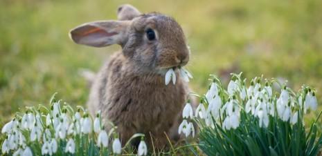 Ein Kaninchen, das einem kleinen Mädchen gehört, sitzt auf einer Wiese in einem Garten im brandenburgischen Sieversdorf (Oder-Spree) und knabbert an Schneeglöckchen, aufgenommen am 09.03.2012. Für das kommende Wochenende sagen die Meteorologen frühlingshafte Temperaturen vorher. Foto: Patrick Pleul dpa/lbn +++(c) dpa - Bildfunk+++