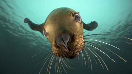 Canada, British Columbia, Hornby Island, Steller sea lion (Eumetopias jubatus) underwater