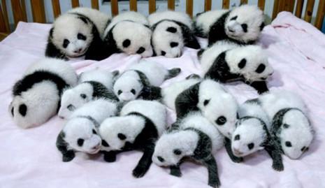 Pandaresentacion-adorables-panda