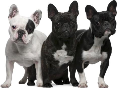 bullllll10-curiosidades-sobre-el-bulldog-francés