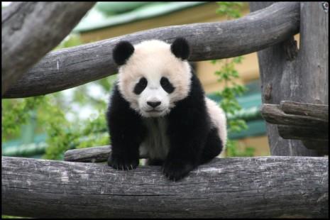 panda-bebes-2