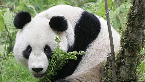 panda-china_CLAIMA20150424_0181_38