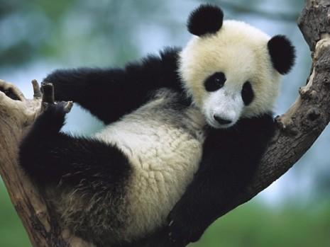 panda-recostado