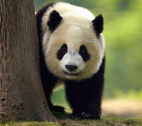panda_6