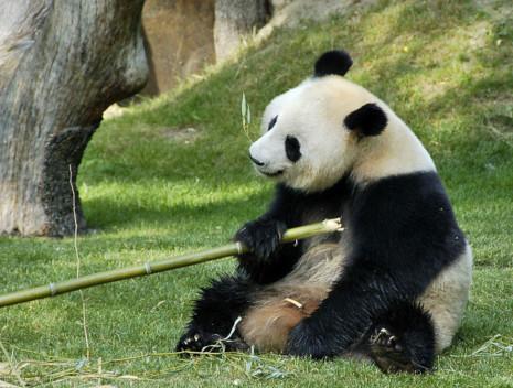 pandaart1raulA-oso-panda