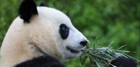 pandas-edimburgo