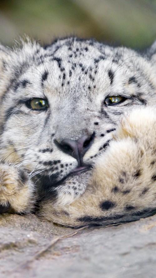 gesto-tierno-de-un-leopardo-de-las-nieves