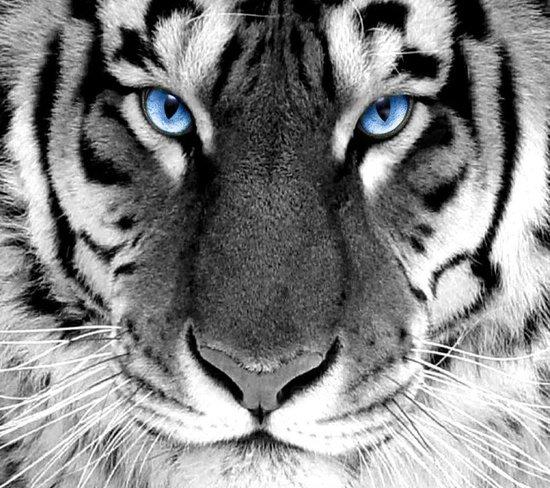 white_tiger-550x488